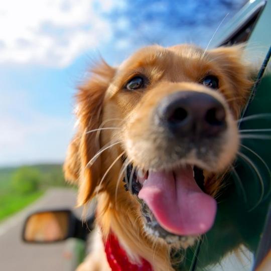 Consejos si te llevas a tu mascota de viaje en coche